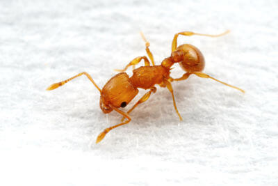 Pharaoh Ant Is A Small Yellow Or Light Brown Metro King Pest Control