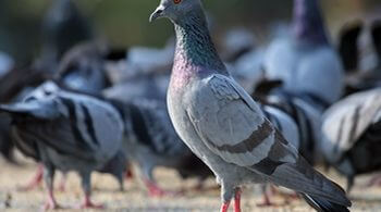Rock_Pigeon_Columba_livia