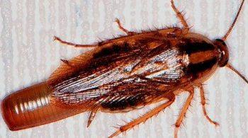 german-cockroach-female