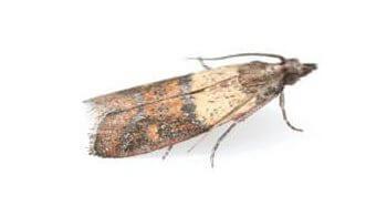meal-moth-med