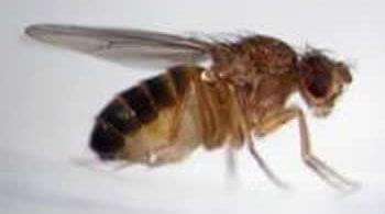 pest_fruit-flies